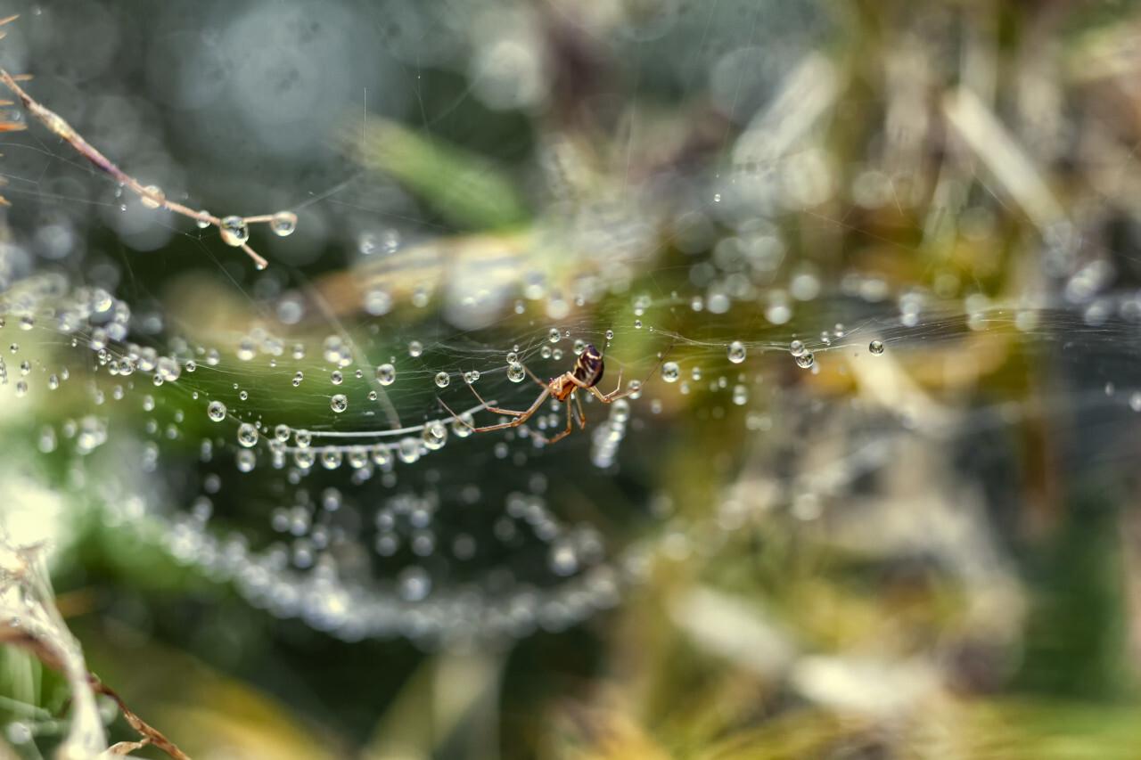 spider in her wet web