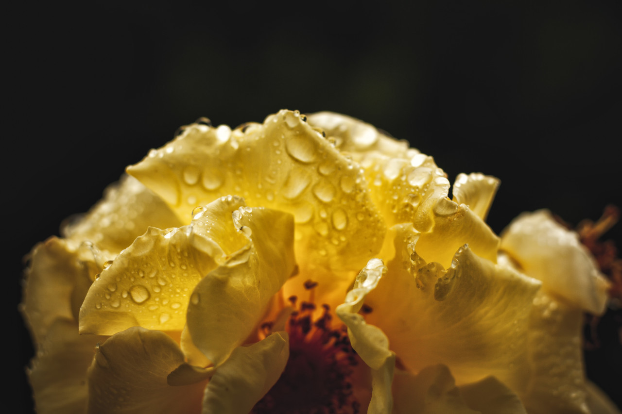 big wet yellow rose macro