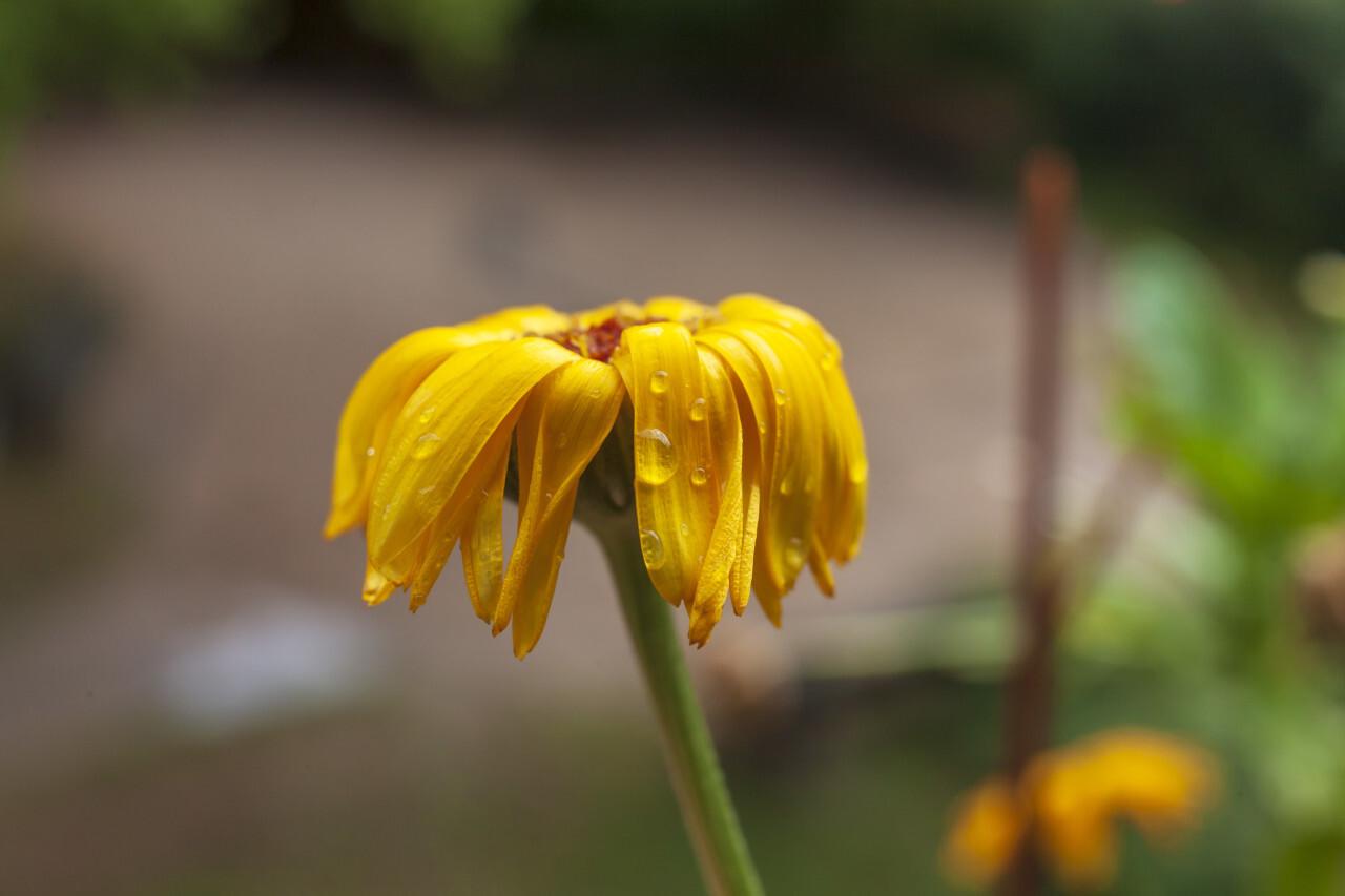 raindrops on a yellow daisy flower