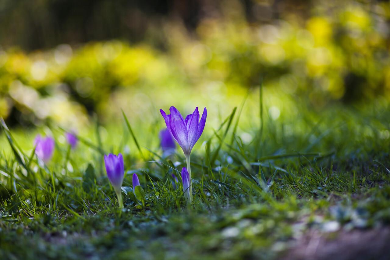 violet crocus flower on a meadow