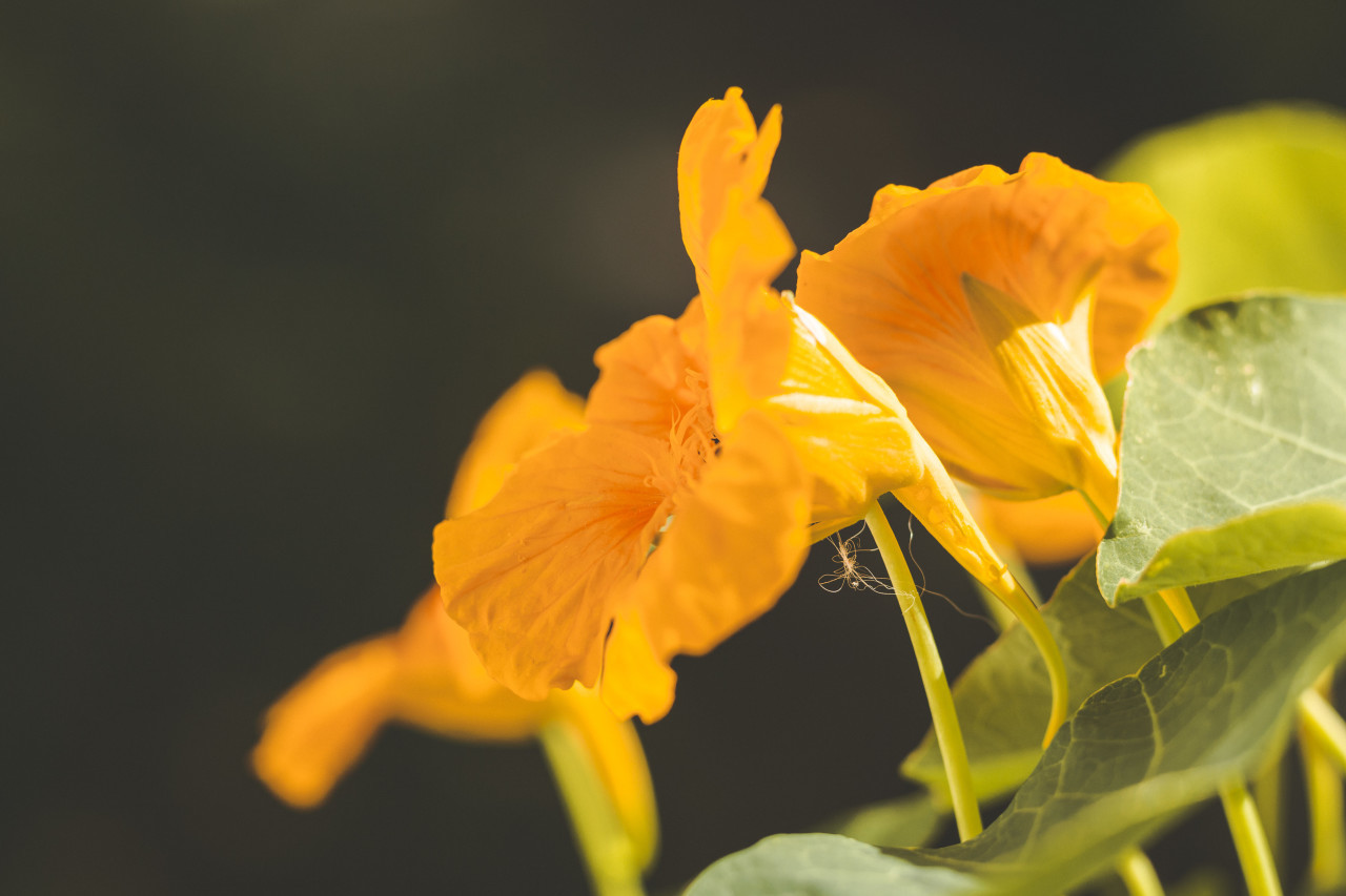 Tropaeolum, nasturtium or nasturtian, perennial herbaceous flowering plants. Edible orange blooming flower.