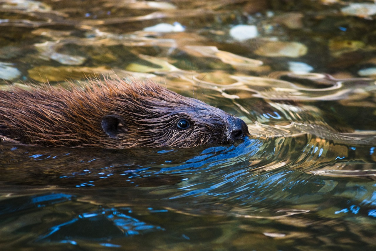 beaver is swimming in the water