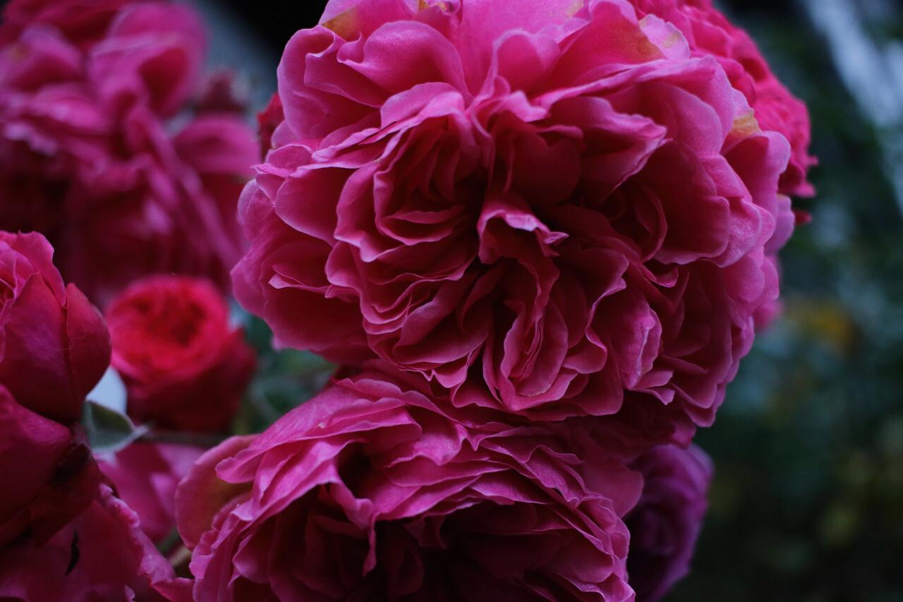 autumn blossom rose