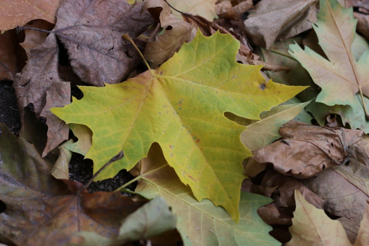 maple leaf in fall season