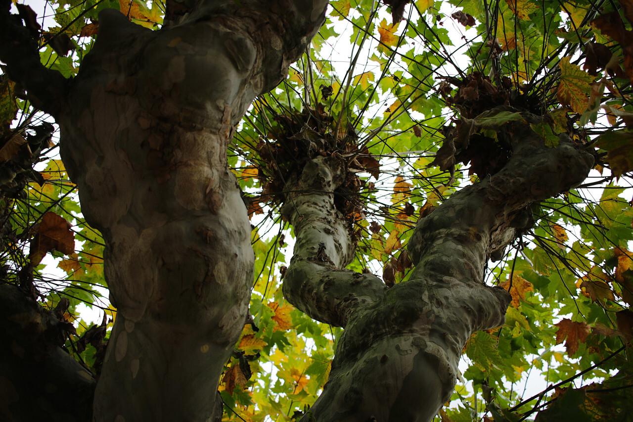 Plane tree - Maple Tree
