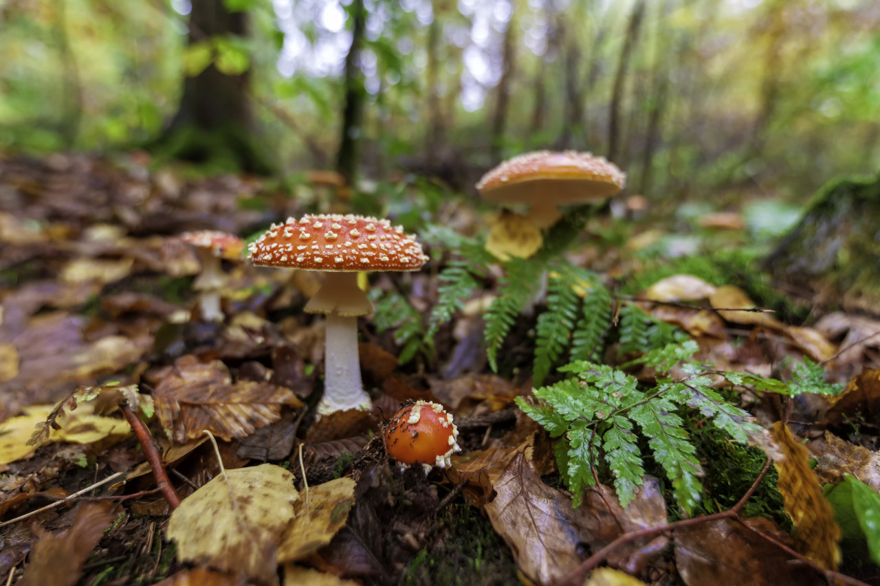 fly agaric mushroom in the forest
