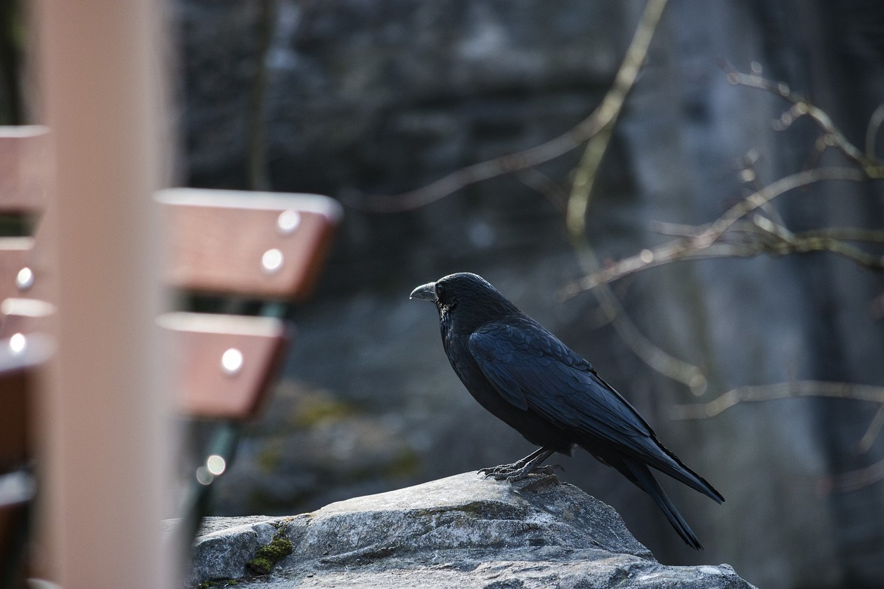 crow on a rock in a park