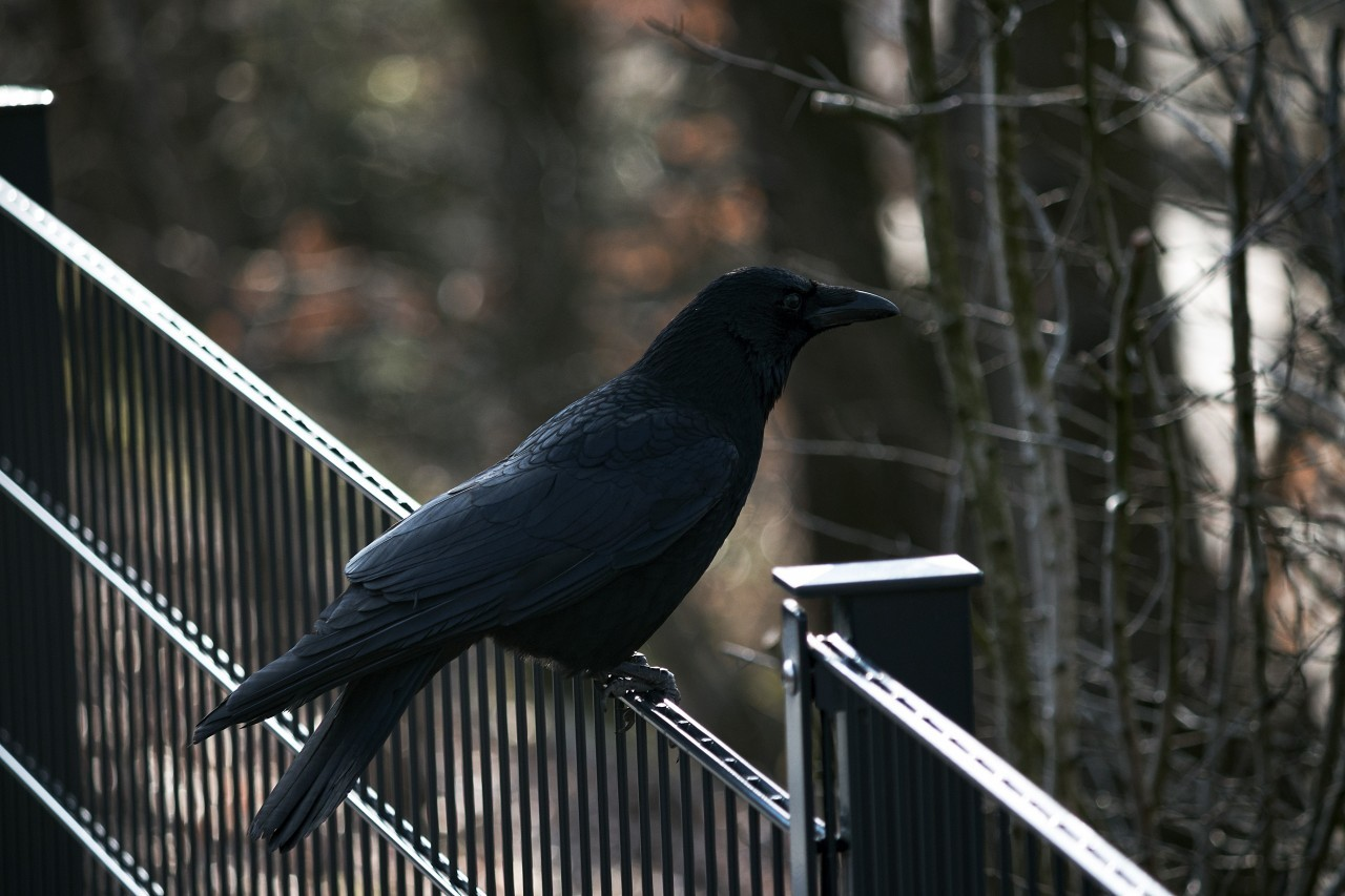 crow on metal fence