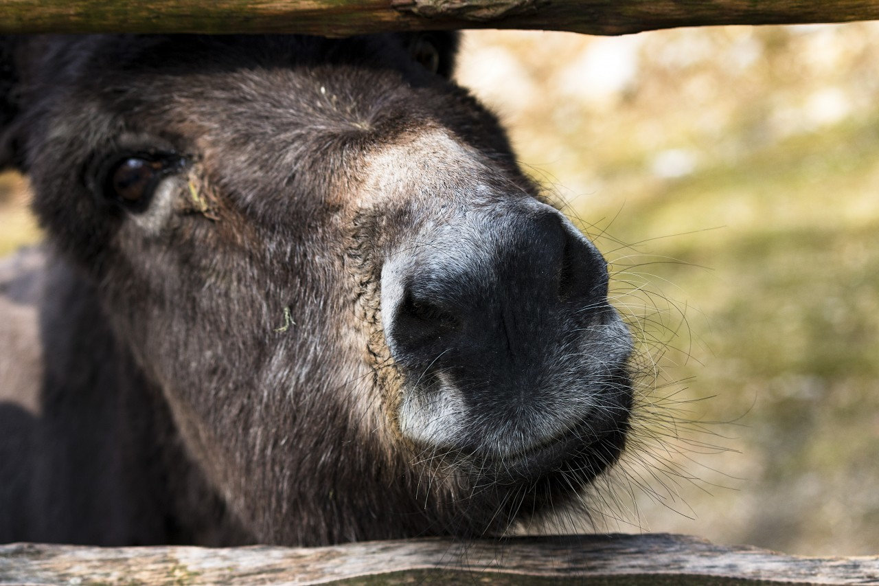 Cute Donkey squeezes his nose through the fence