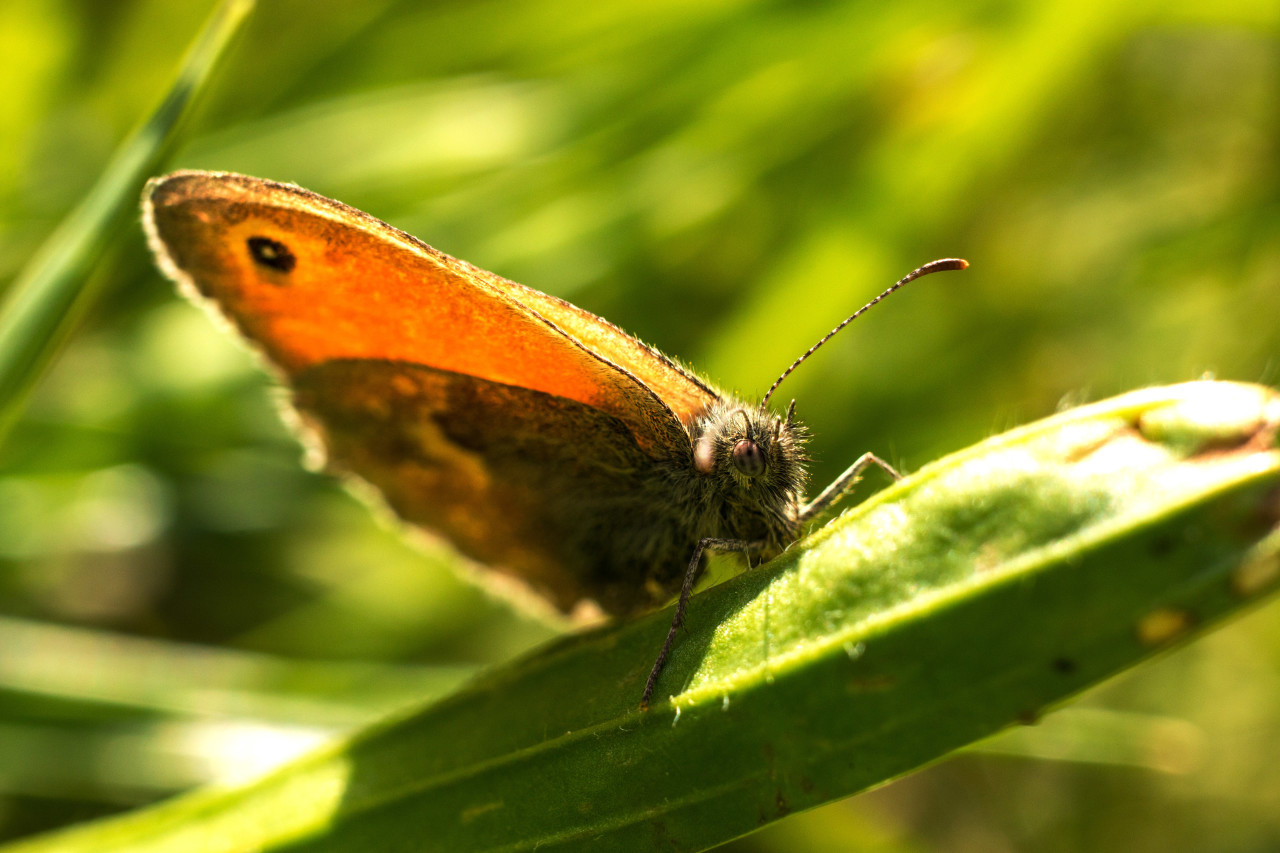 lepidoptera butterfly on green grass summertime