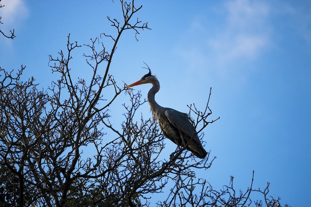 Heron nests in a tree