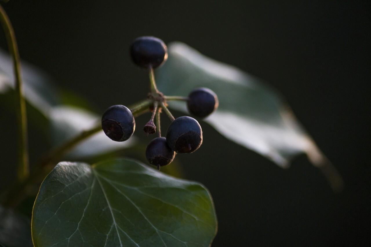 Ivy fruits