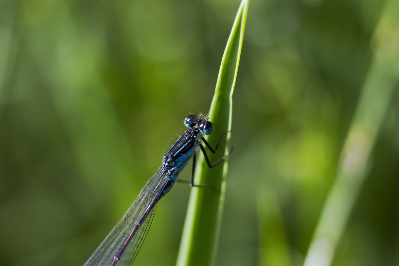 blue dragonfly on blade of grass