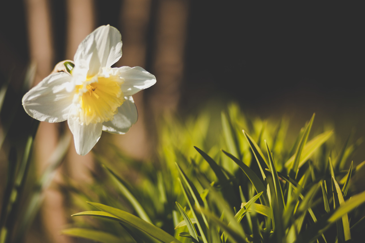 White Yellow Narcissus / Daffodil