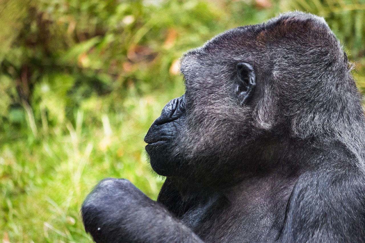 gorilla lady
