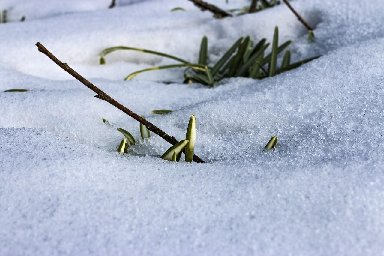 spring blossom snowdrop break through the snow