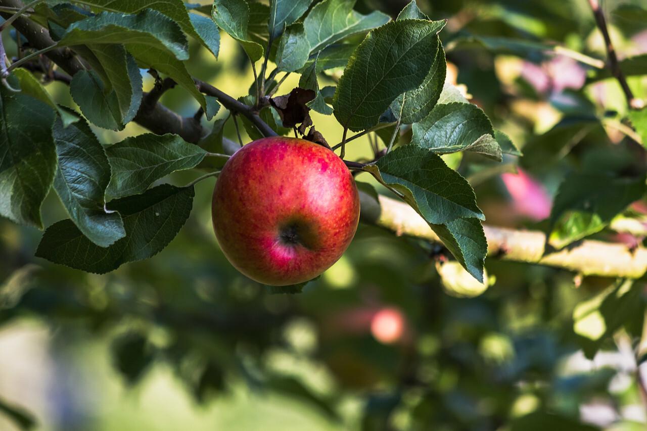 red ripe apple on tree