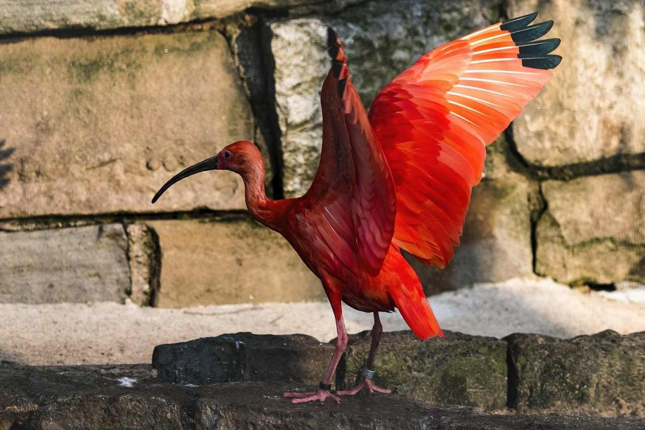 red ibis spread the wings