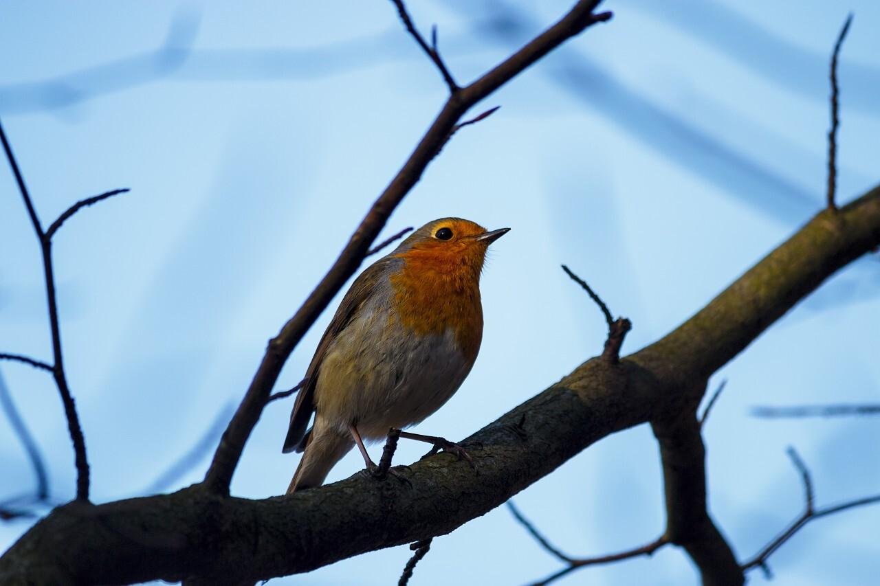 robin bird on a tree