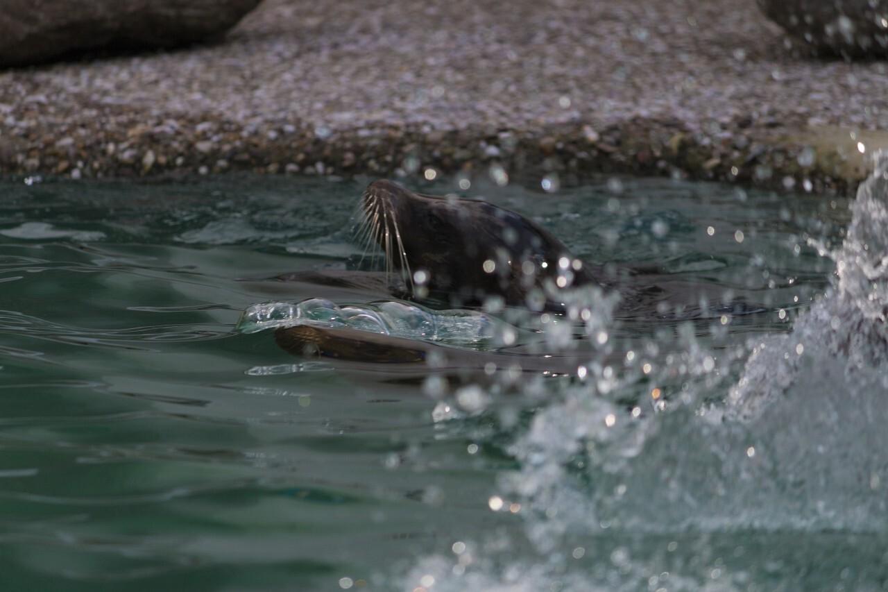 seal head water splash