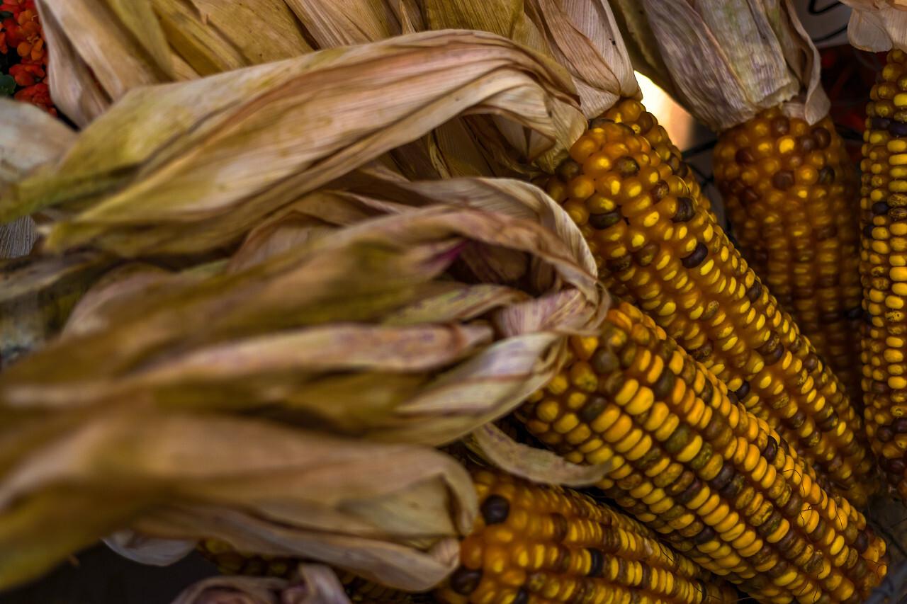 corn harvest october