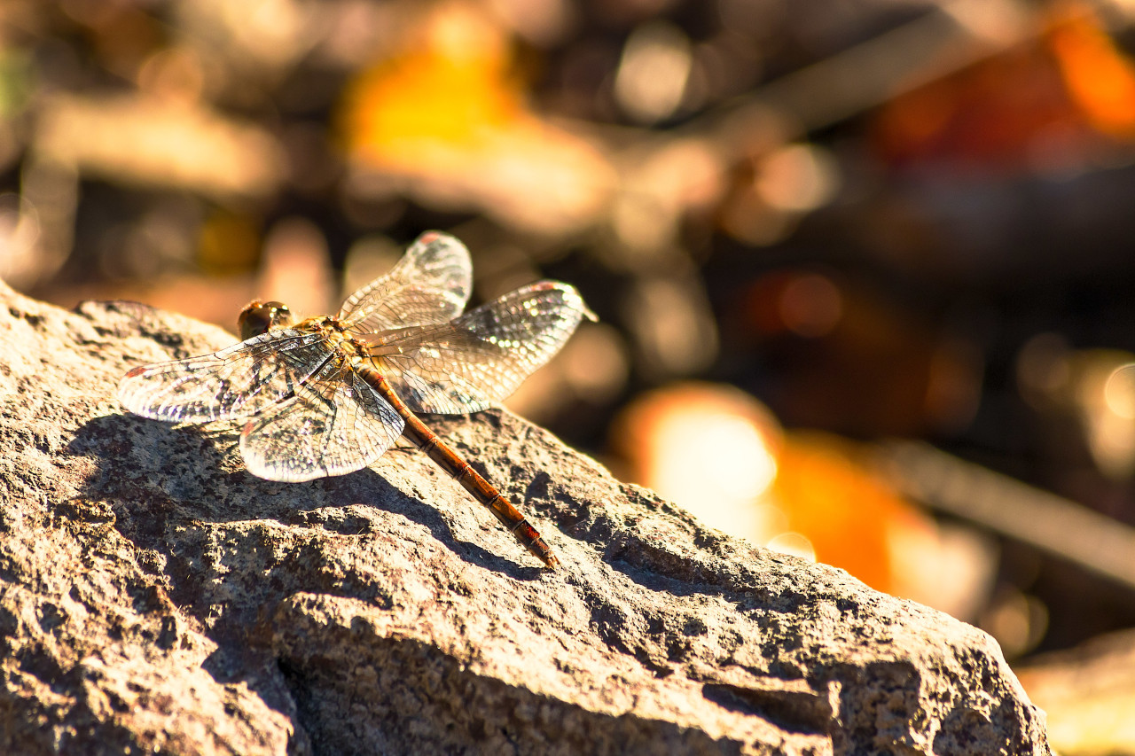 dragonfly on a stone
