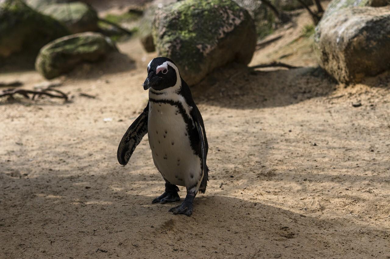 African penguin on the sandy beach