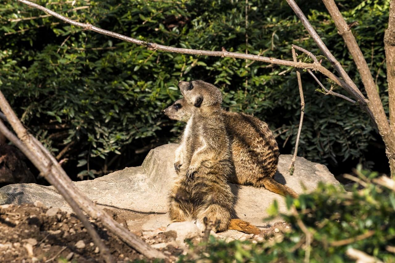 two meerkat guards