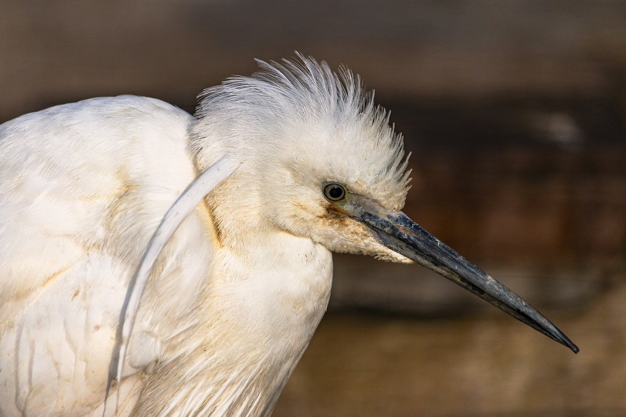 white ibis portrait