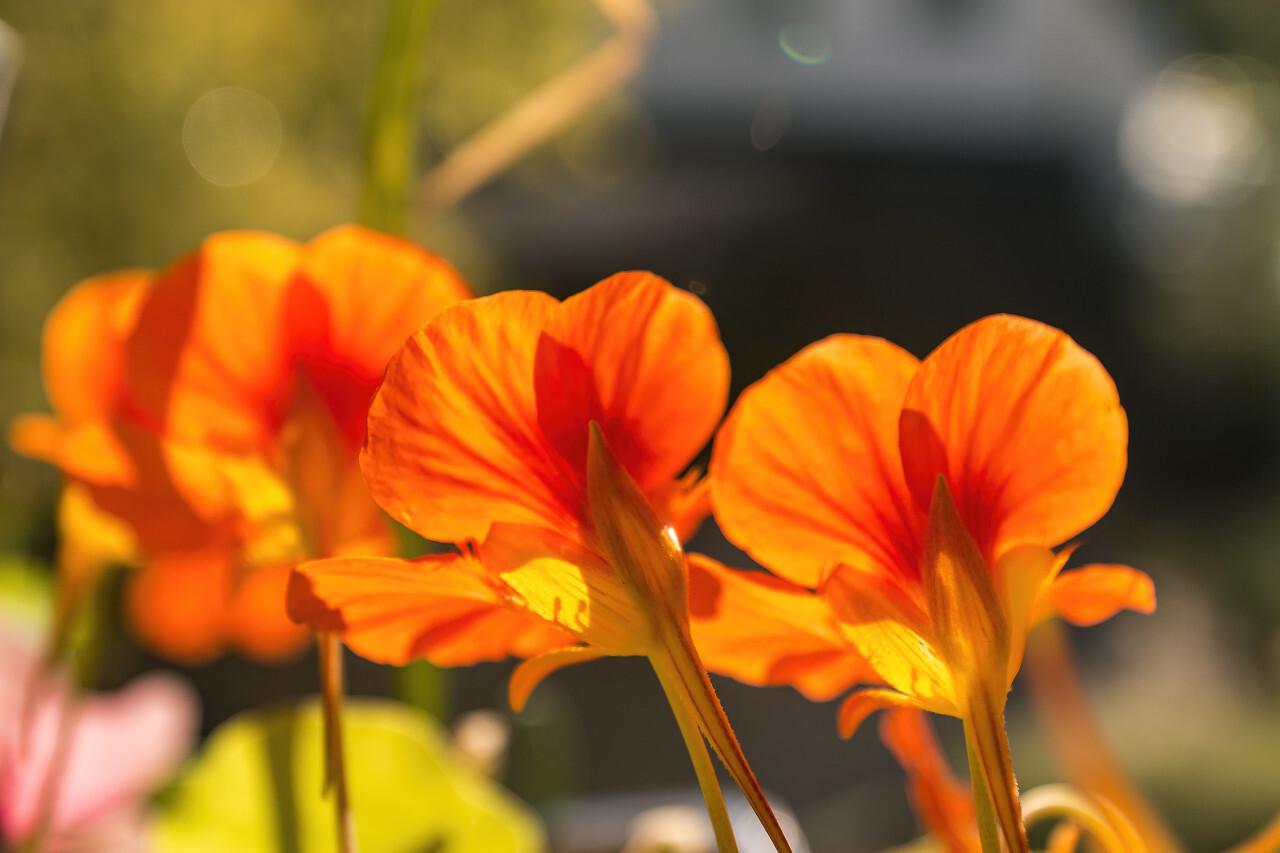 nasturtium orange