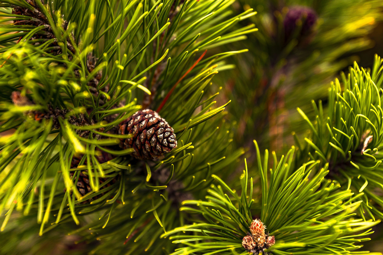 evergreen conifer with cones
