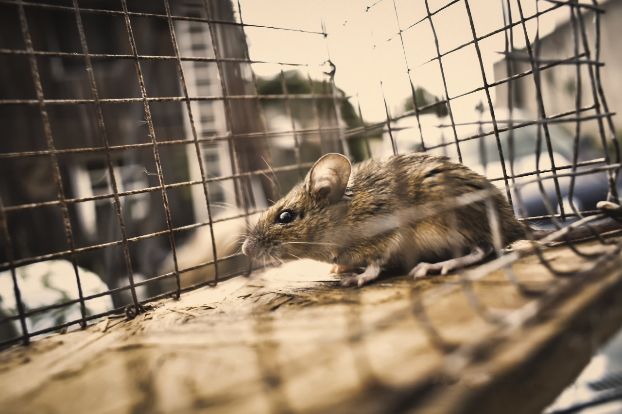 mouse caught alive