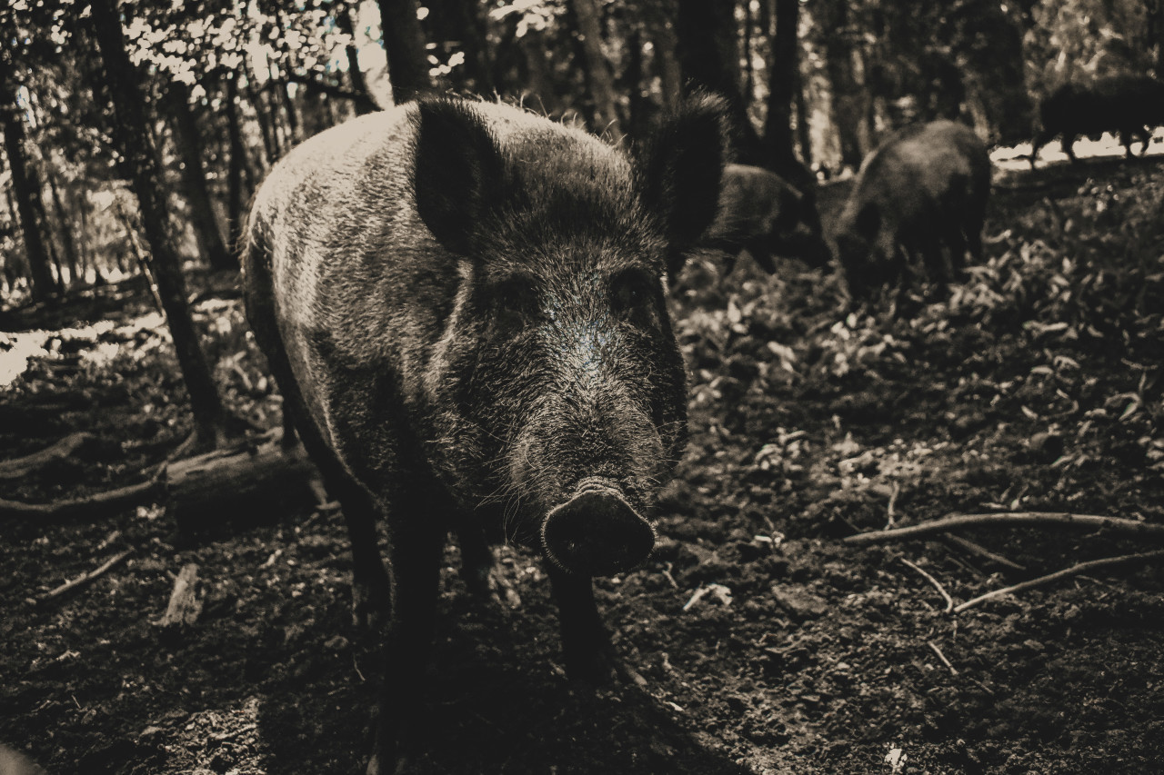 wild sow in a forest