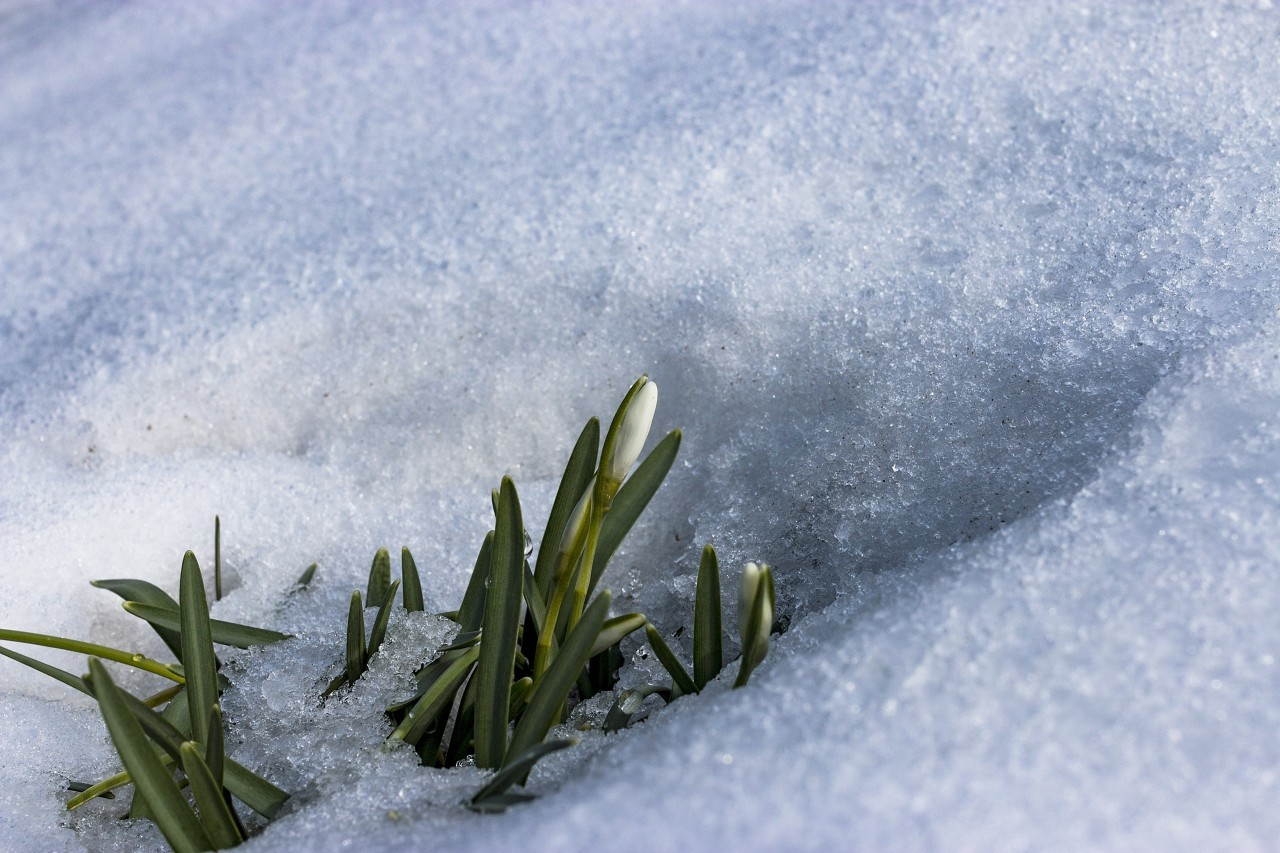 spring blossom snowdrop flower surrounded by snow