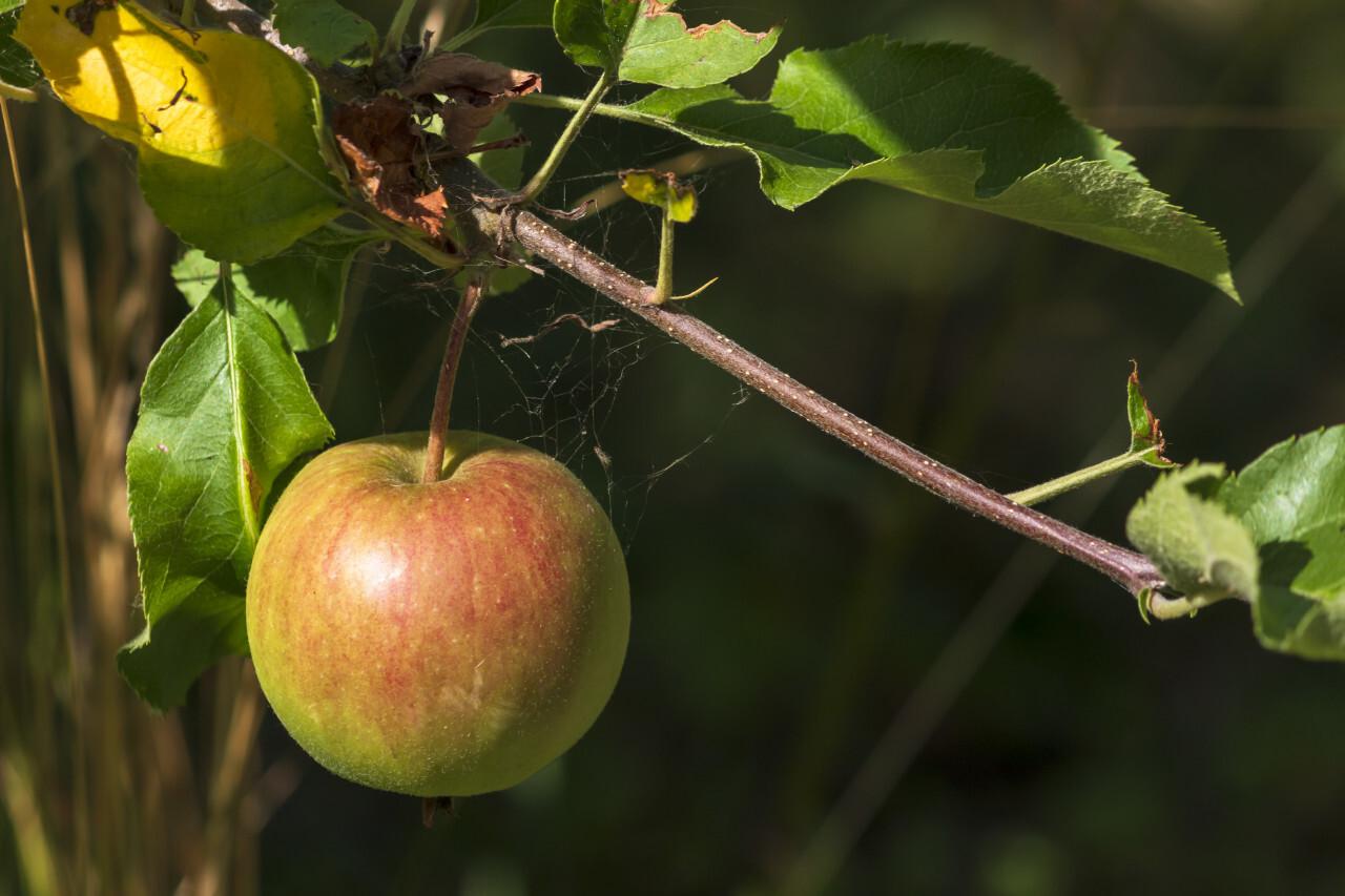 apple hanging on appletree