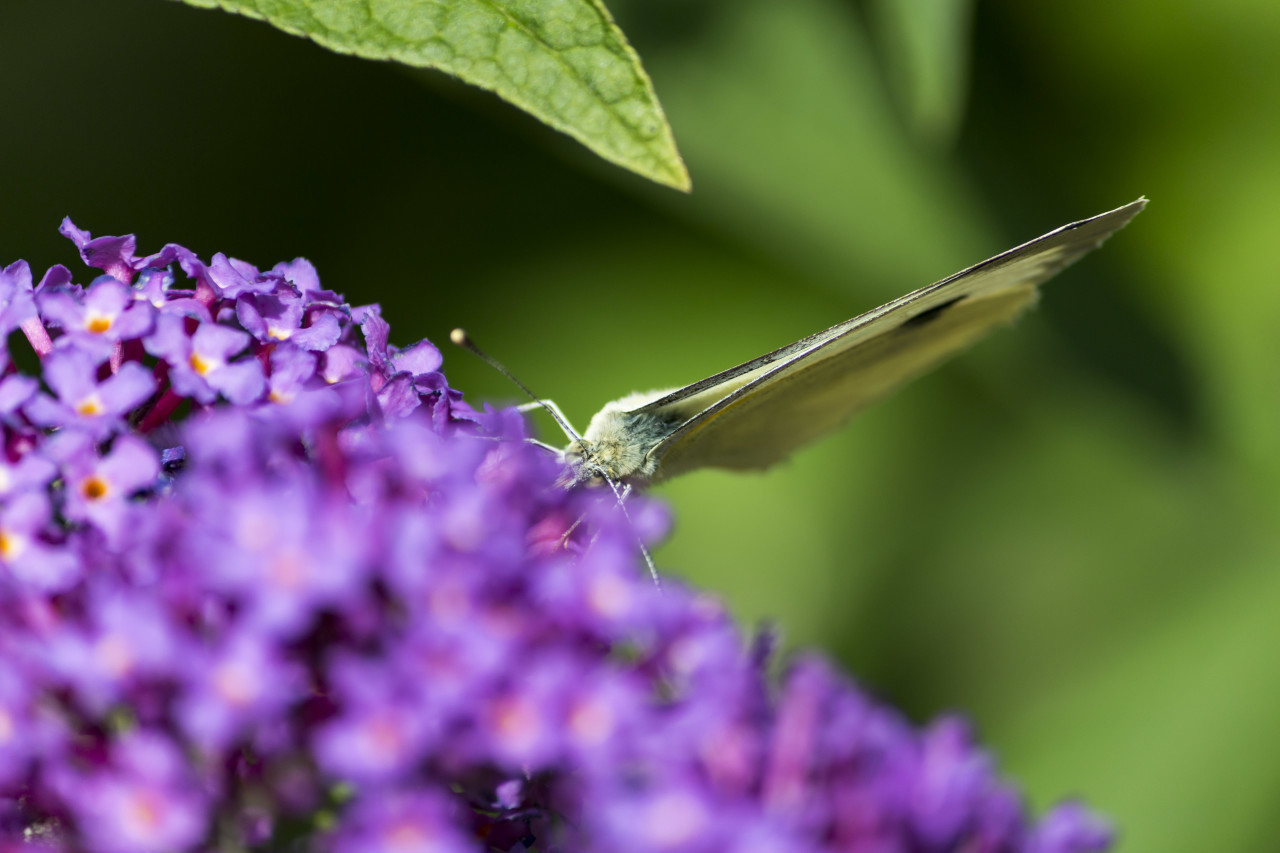 brimstone butterfly on lilac