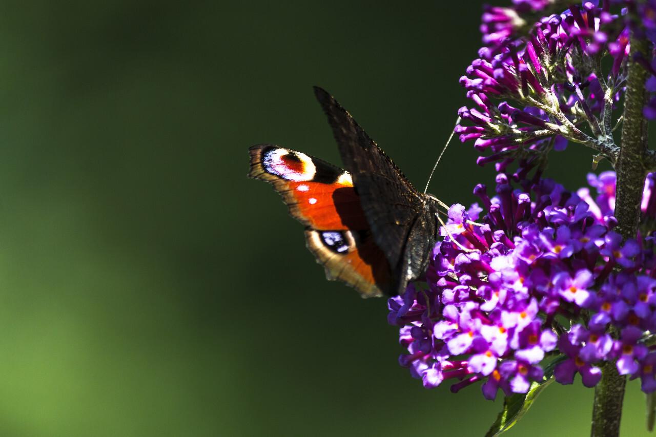 vanessa atalanta butterfly lilac