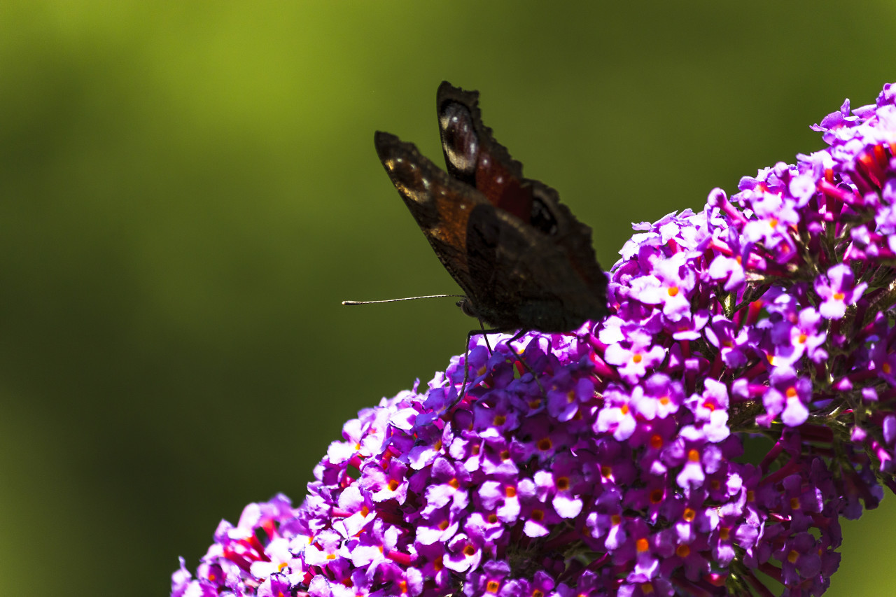 vanessa atalanta butterfly on lilac