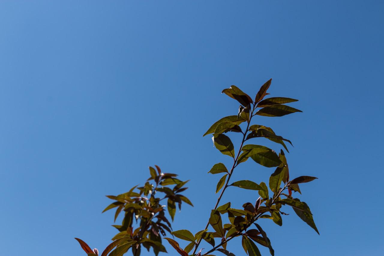 peach tree leaves