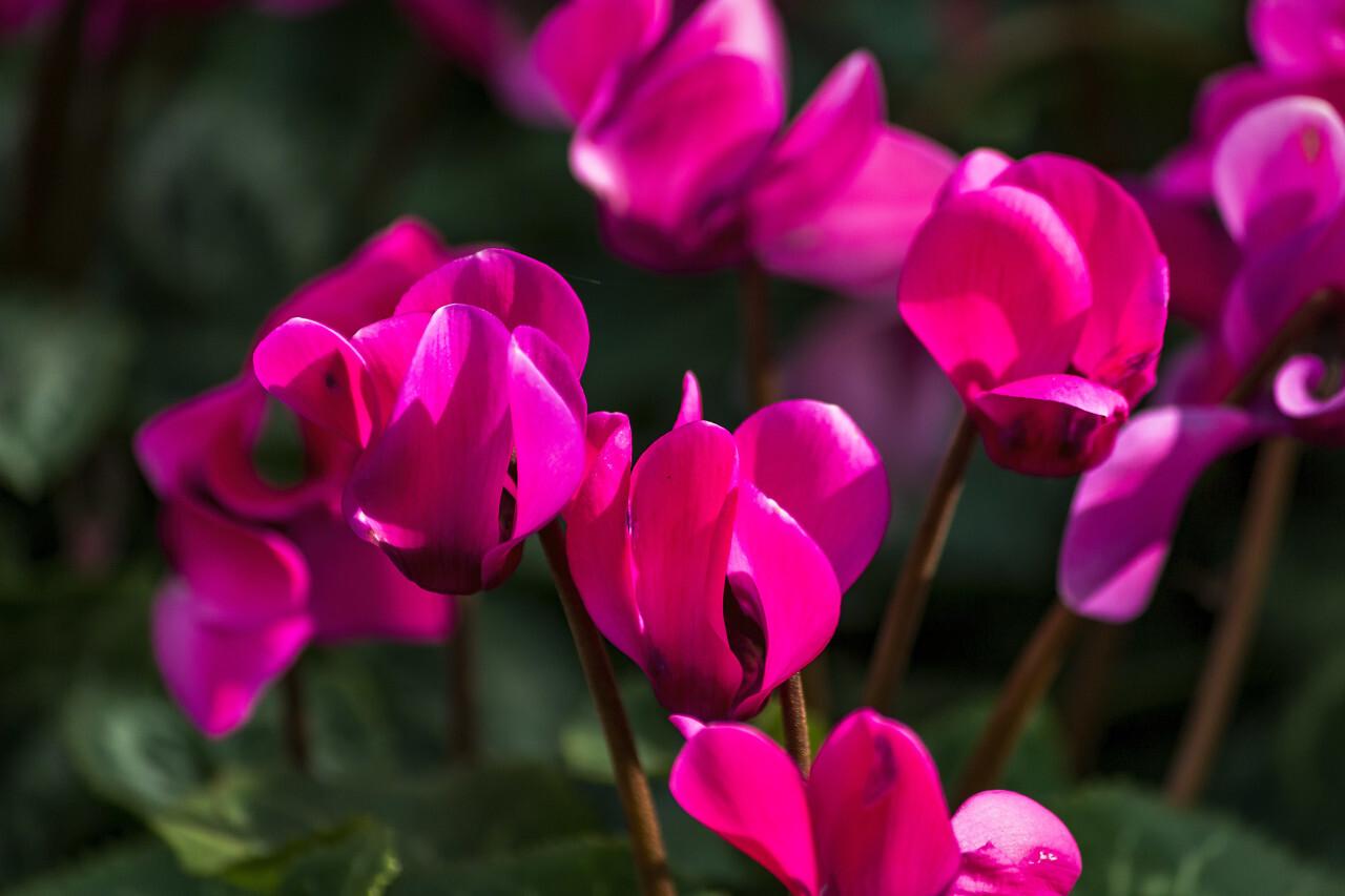 Blooming cyclamen pink flowers