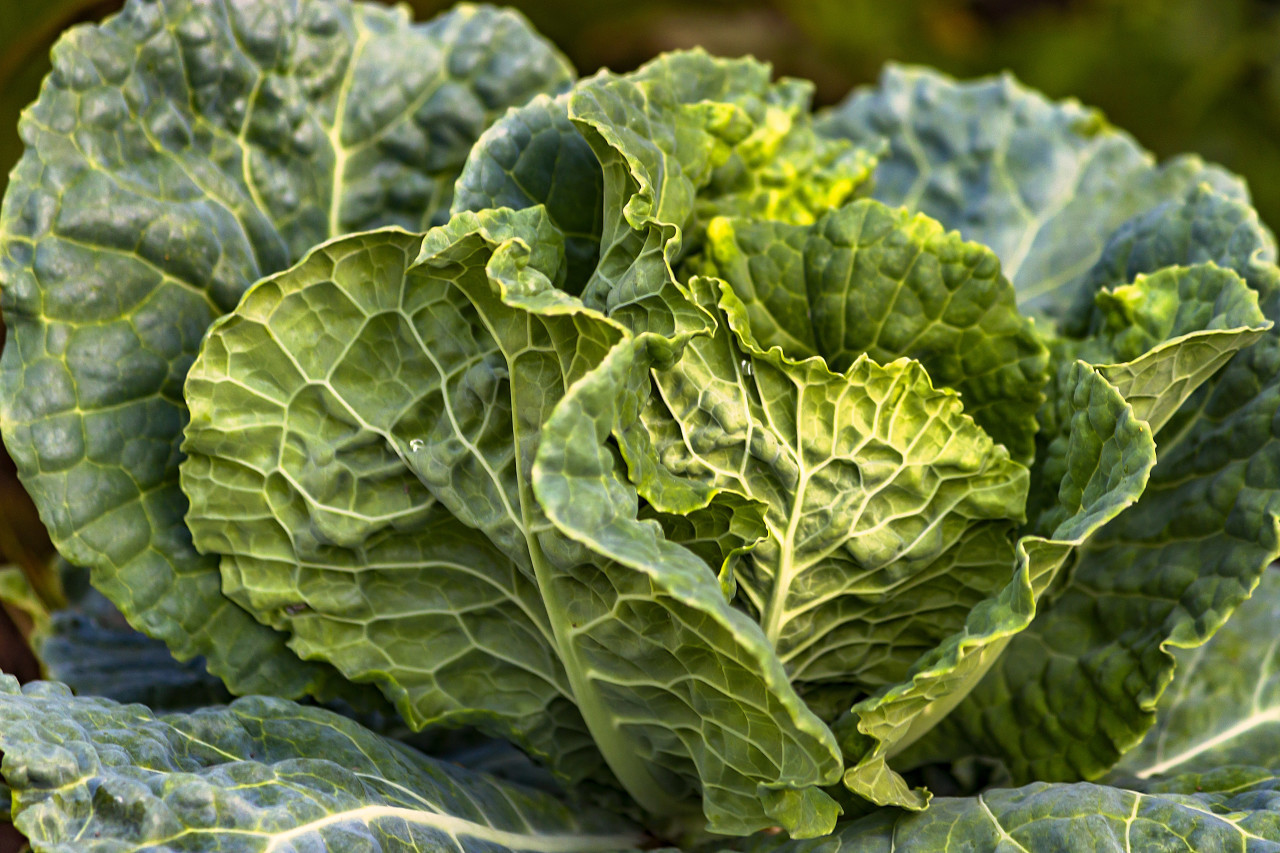 Savoy cabbage growing on the field