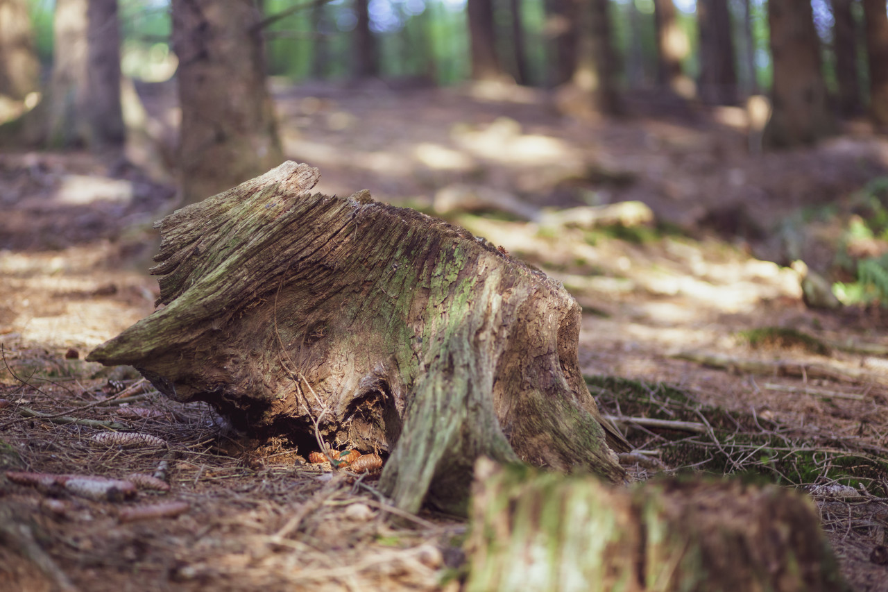 tree stump in a german forest