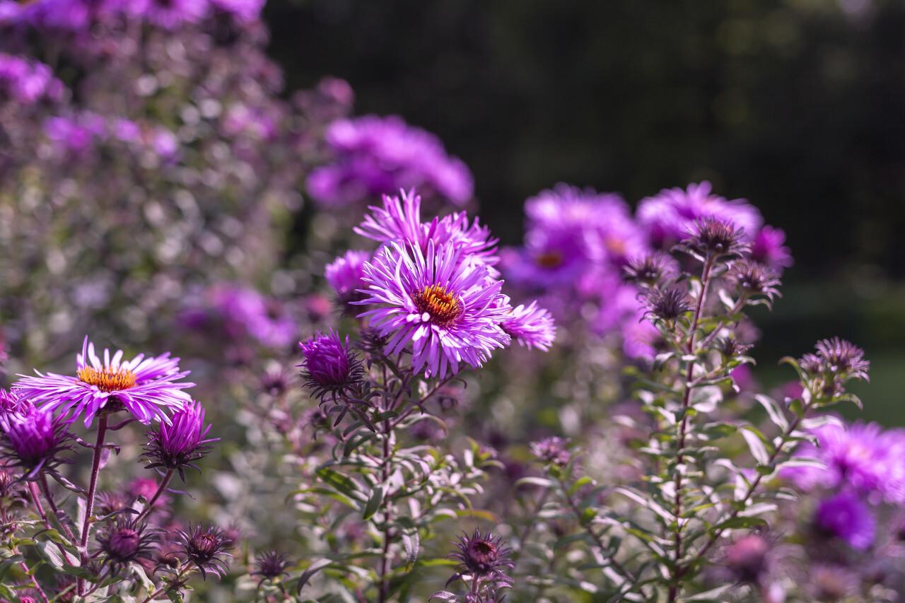 New England Aster - Purple Flowers