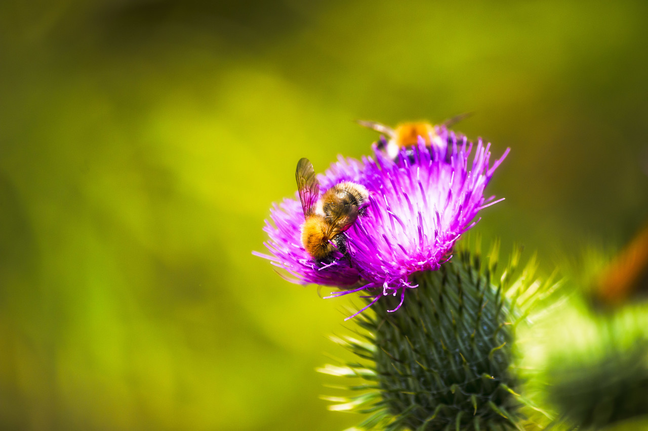 bees collect nectar on thistle flower