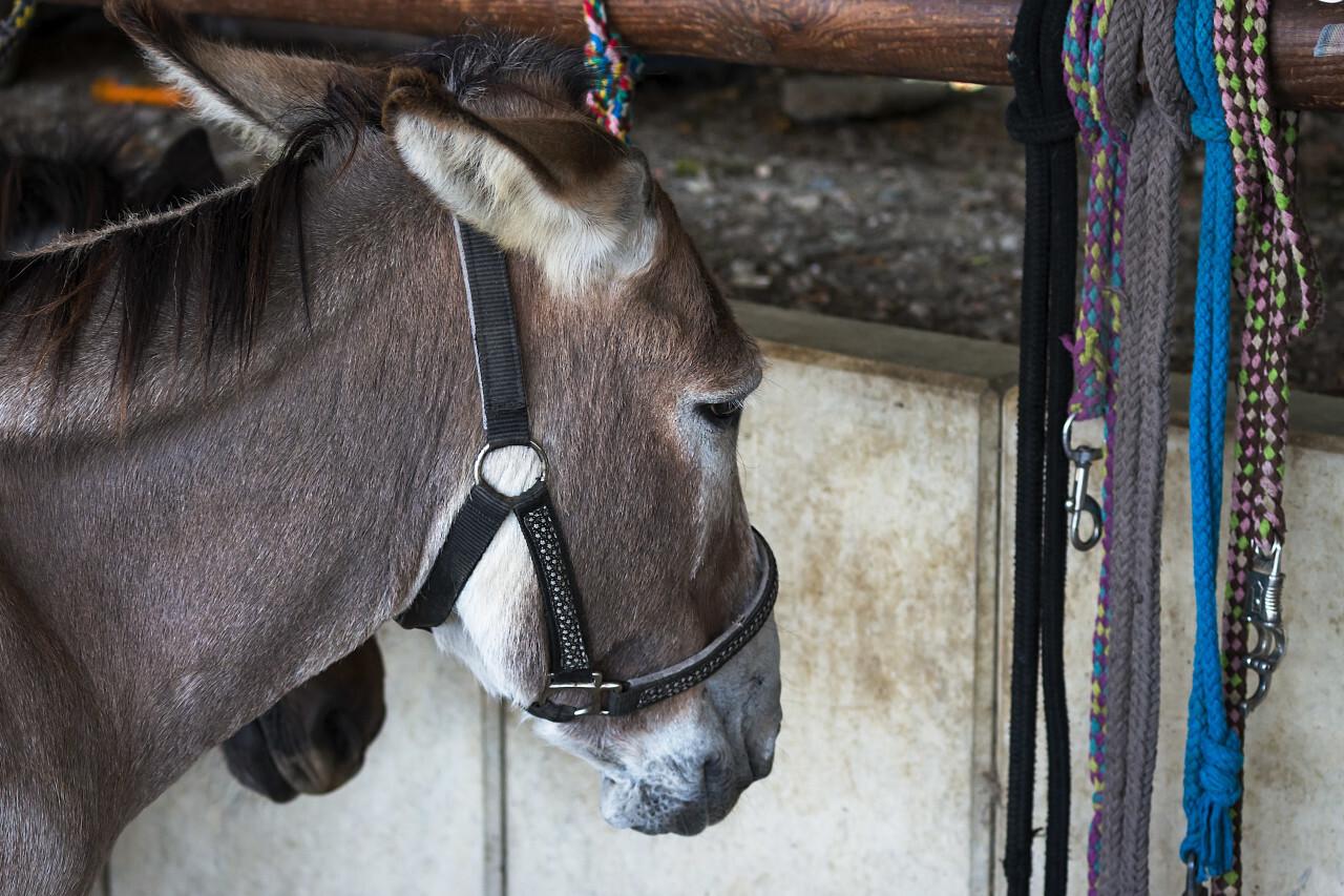 cute donkey tied down