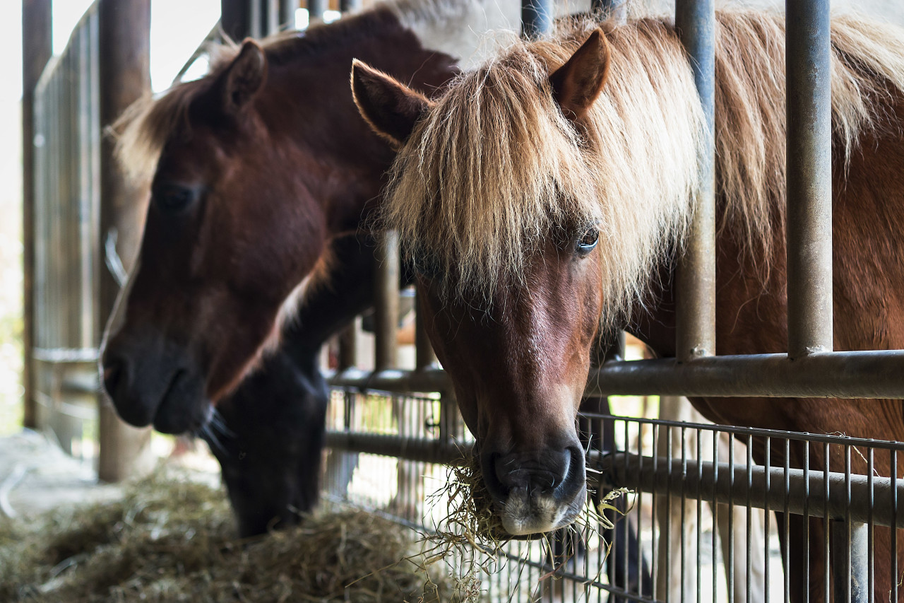 hay eating horses in the stable