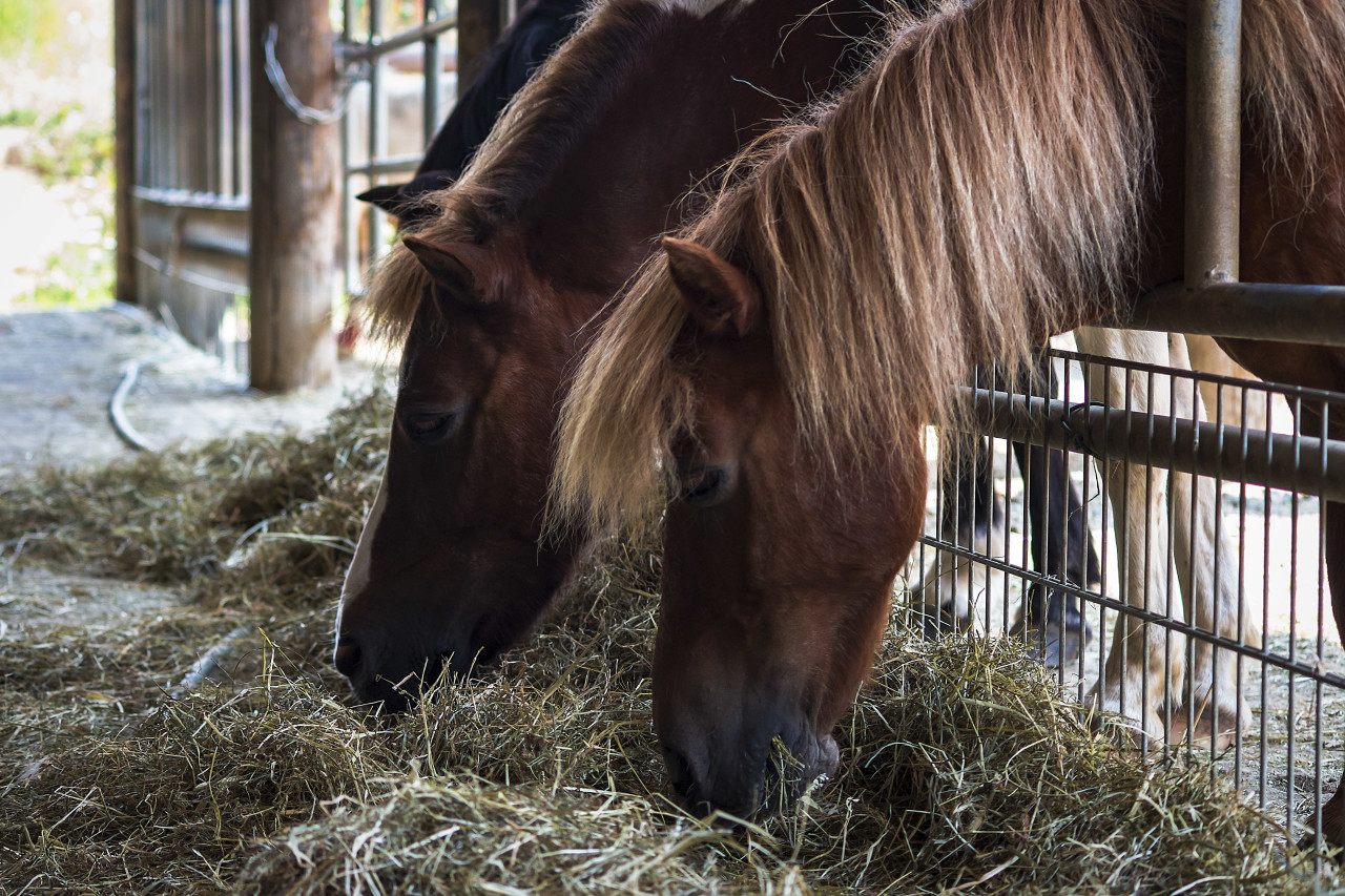 hay eating horses - two horses in stable