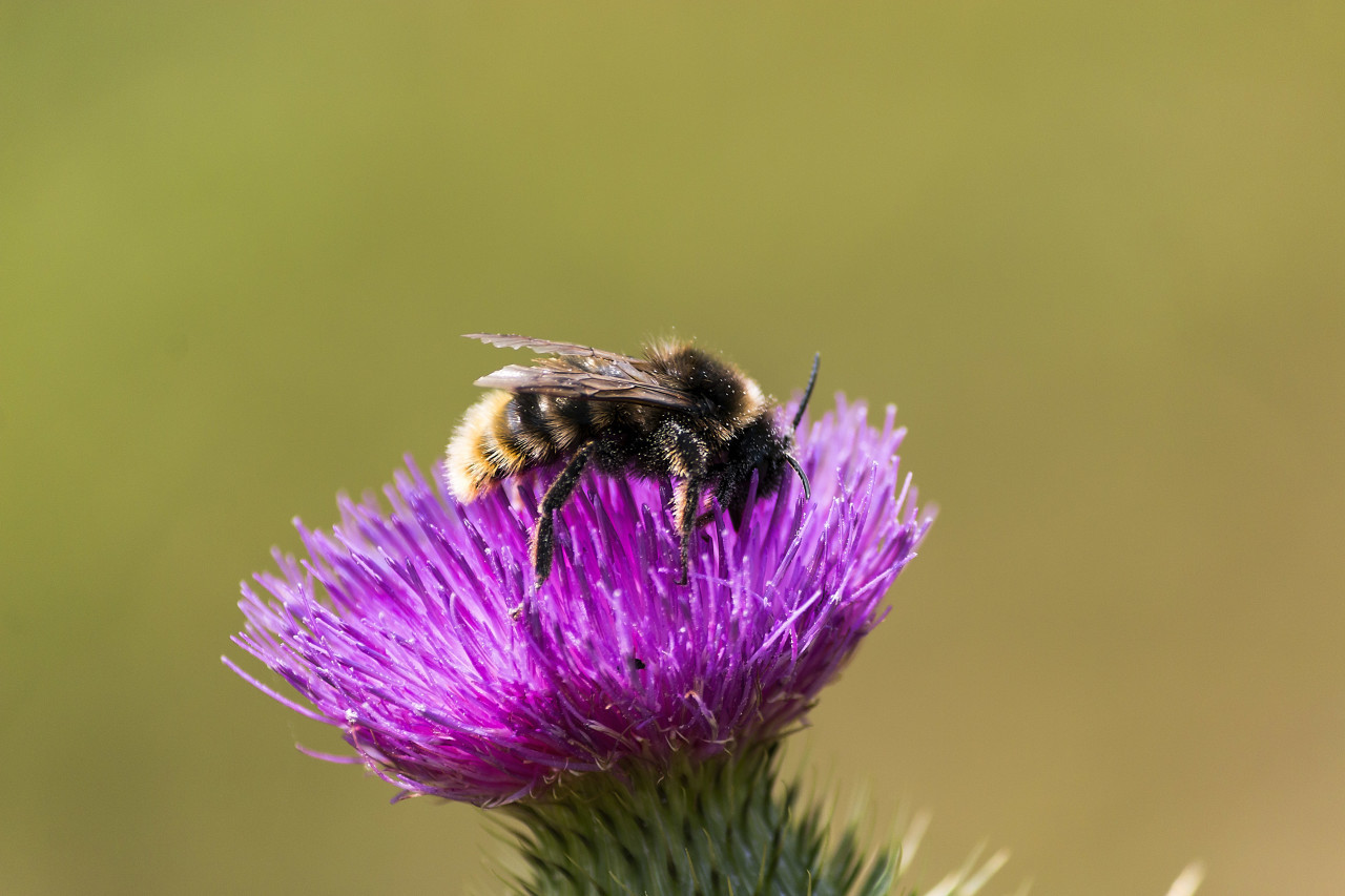 little bee on a thistle