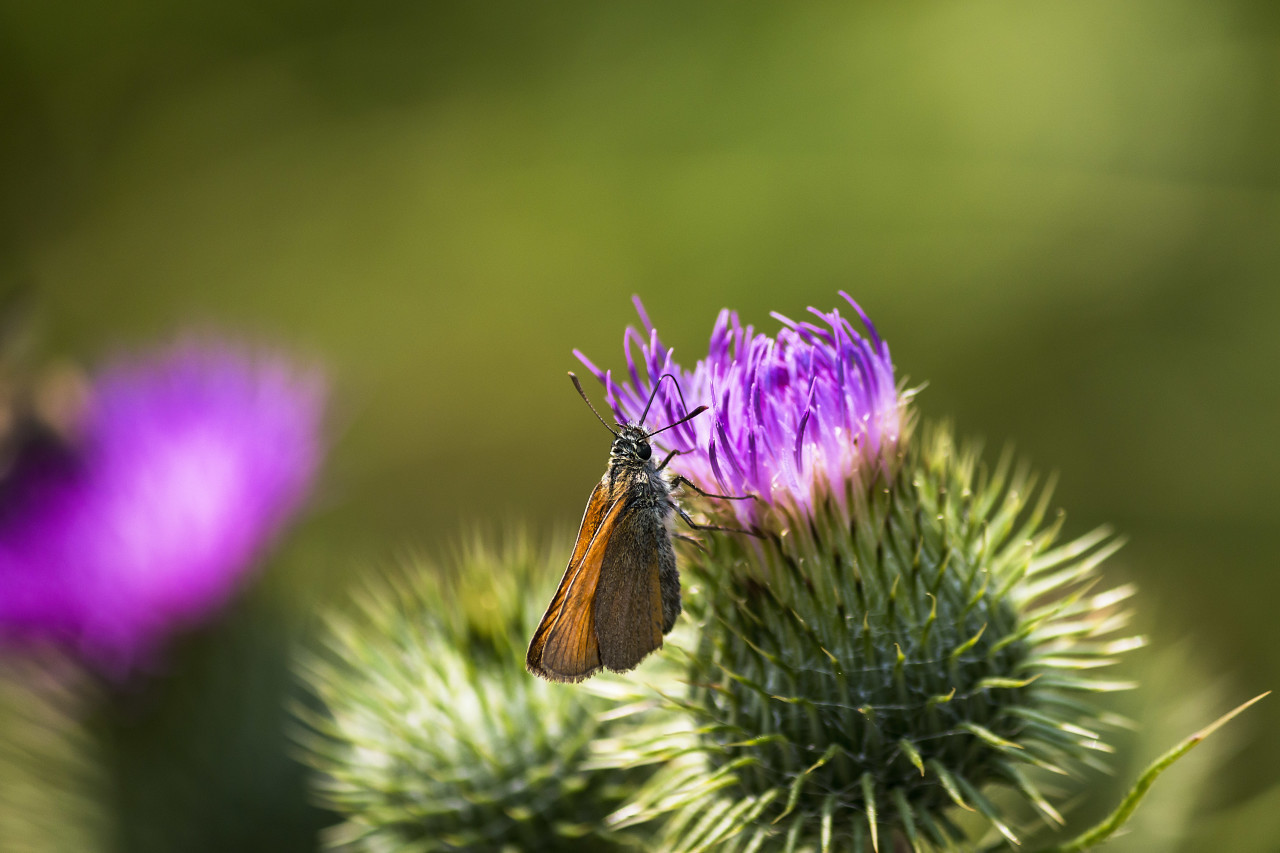 little butterfly on thistle