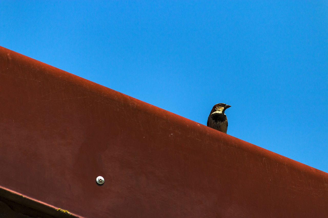 swallow on a red roof
